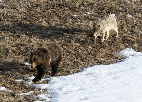wolf_38