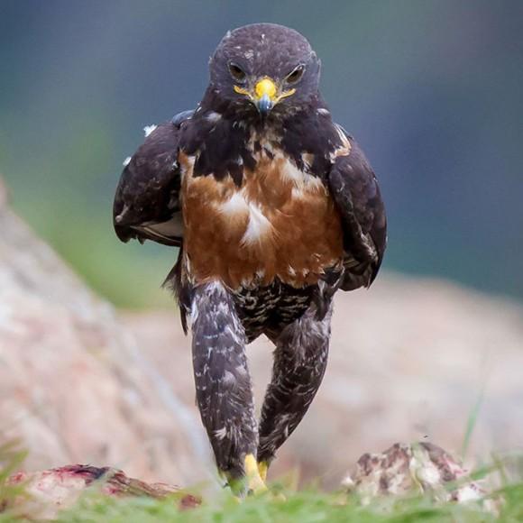 鷹の姿があまりにも威風堂々だったのでコラ職人頑張る