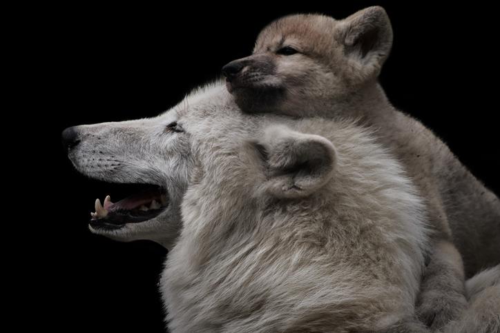 狼も犬のように尻尾を振るのだろうか?