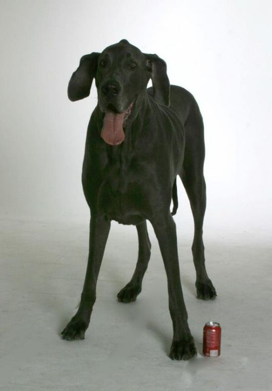 Worlds_Tallest_Dog_18