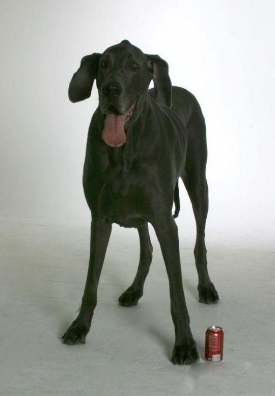 Worlds_Tallest_Dog_18