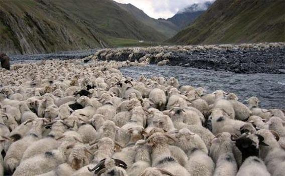 sheep_georgia