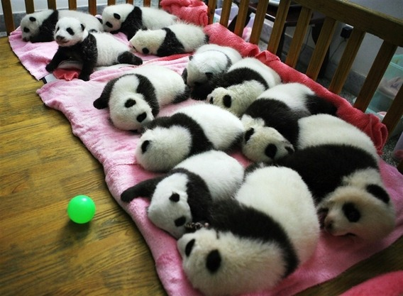 12-panda-cubs-cuddling-together-in-a-crib-4150-1317131045-1