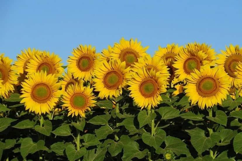 sunflowers-3512654_640