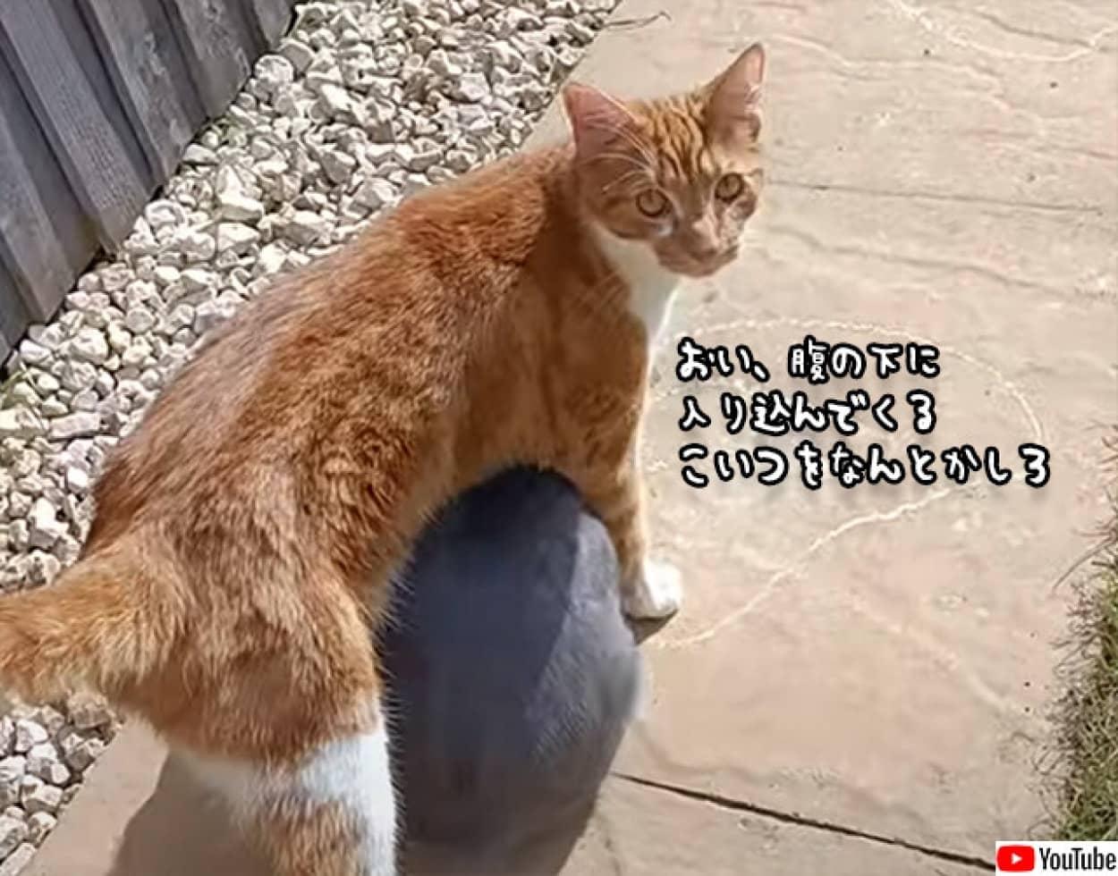 猫のお腹に潜り込んで移動する面白うさぎ