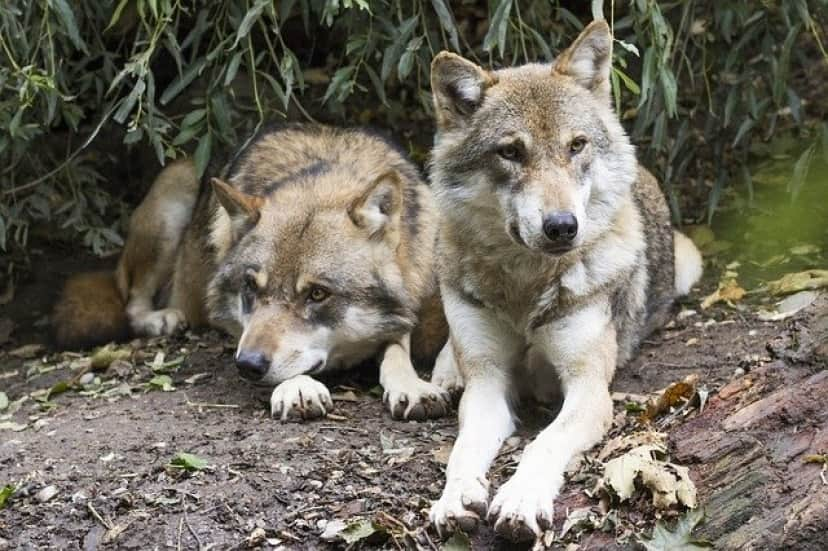 wolves-1388558_640