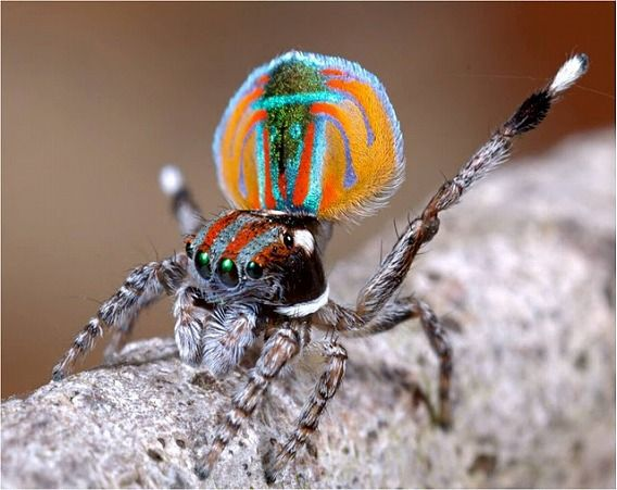 Peacock spider 15