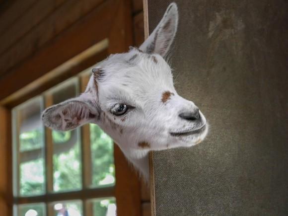goat-2153622_640_e