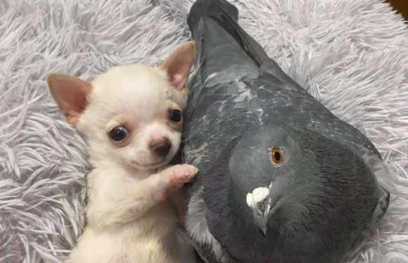 施設で出会った歩けないチワワと飛べない鳩がベストフレンドになるまでの物語(アメリカ)