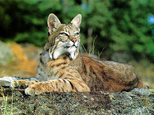 bobcat_lying