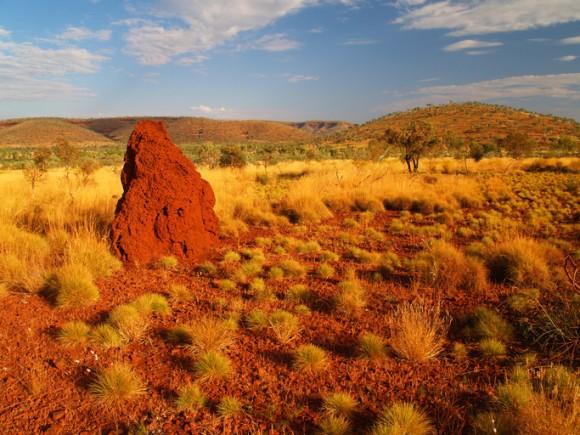 ソルト&ビネガーチップスのような味がする新種の植物が発見される(オーストラリア)
