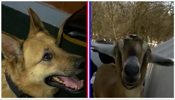 ヤギ vs 警察犬、ペット町長を決める選挙がまもなく開催、現町長はヤギ(アメリカ)