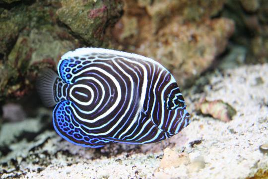 Juvenile-Emporer-Angel-Fish2