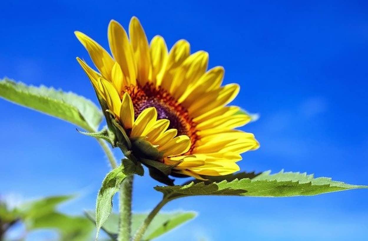 ヒマワリが開花後、東だけを向く理由はミツバチが関係