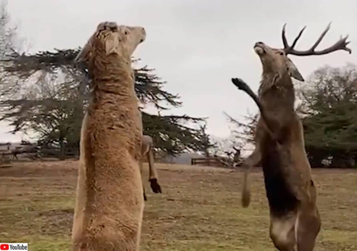 鹿が二足立ちでボクシング