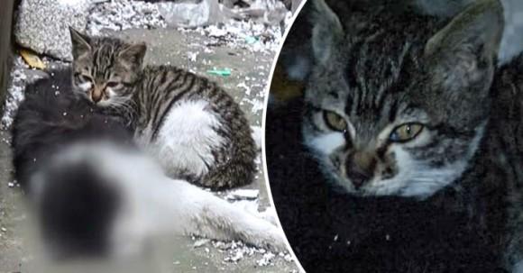死んだ野良のオス猫に寄り添い離れようとしない子猫。このオス猫は子猫の父親代わりだった