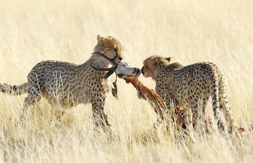 Cheetahs-kill_1402388i