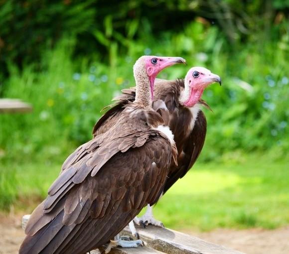 vultures-3416229_640_e
