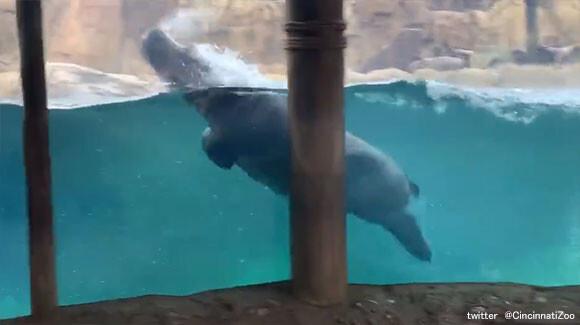 イルカを見に来た?カバでもここまでやれるんだぜ。機敏な泳ぎでファンサービスに余念がないカバ(アメリカ)