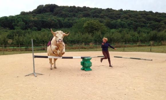 食肉用の牛だったけど、馬としての厳しい訓練をクリア。馬化まったなしで馬術競技もこなせるようになったウシ(フランス)