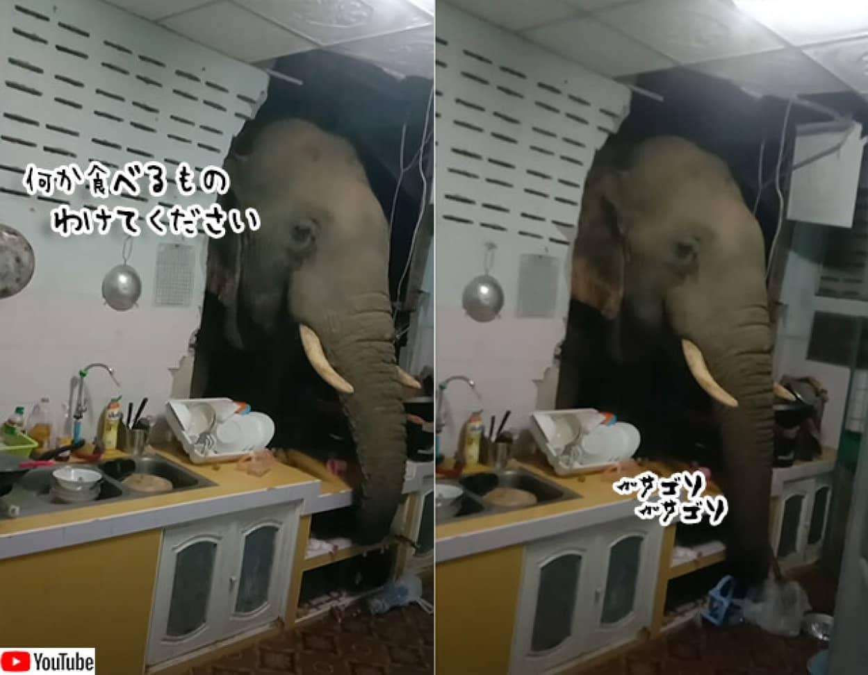 台所の壁をぶち抜いて、食べ物を探しにやってきた象