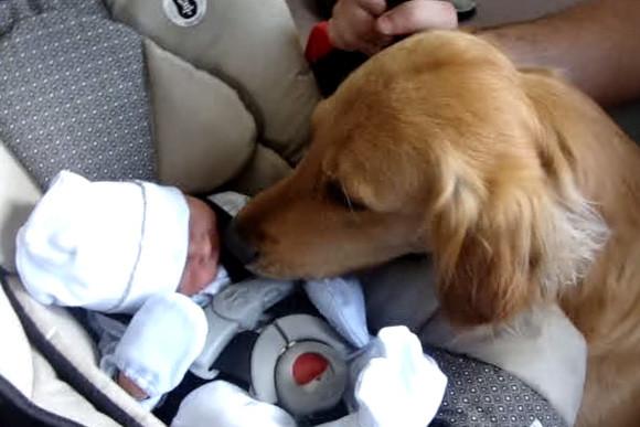 赤ちゃん ゴールデン レトリバー 誕生日にゴールデンレトリバーの子犬をもらった赤ちゃん、出会った瞬間に親友になる動画に胸キュン FINDERS