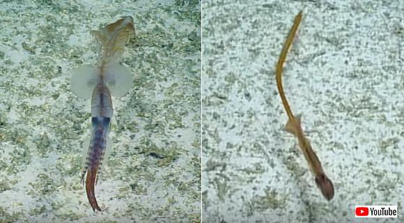 史上初。生きて泳ぐ珍しい深海イカの撮影に成功