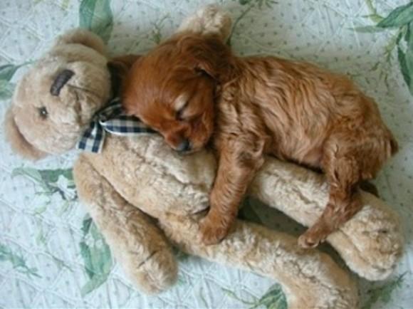 お気に入りのぬいぐるみをぎゅっと抱きしめてお昼寝する犬がかわいくてめまい(+動画)