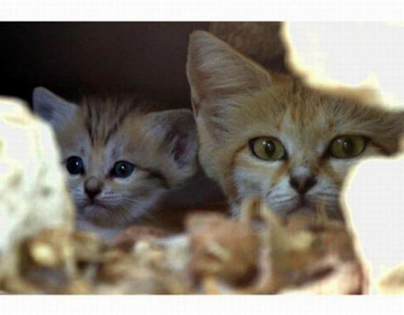 sand_cat_kitten_10