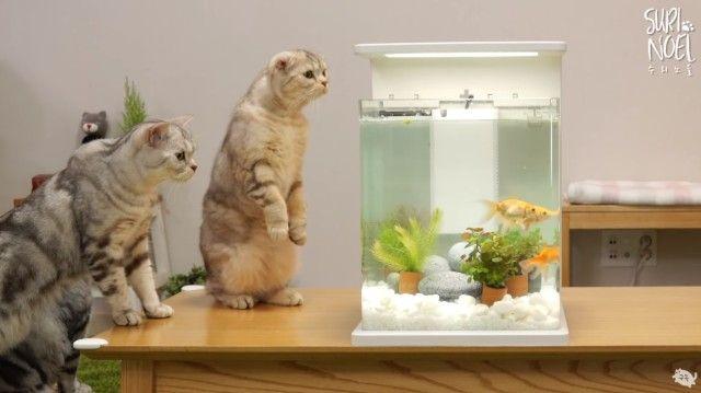 catsngoldfish6_e