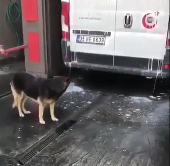 賢い犬。無料のマッサージサービスが受けられることを知り洗車機の前で待機。慣れた様子でブラシに突入!