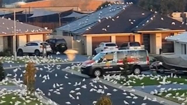 オーストラリアで大量の白い鳥が街に襲来する2021「鳥」