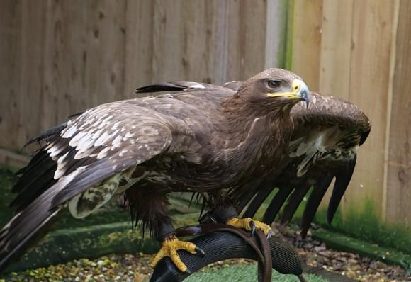 steppe-eagle-3333270_640_e