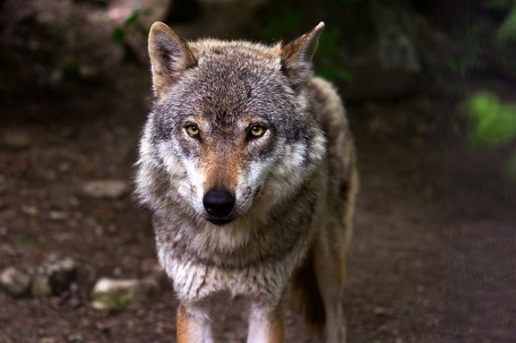 wolf-635063_640_e