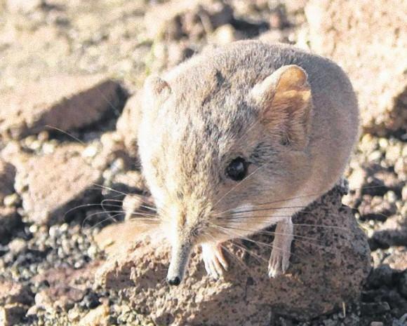 かわいい新種案件:しゅんと長い鼻とぽってりな胴体。ハネジネズミの新種が発見される(ナミビア)