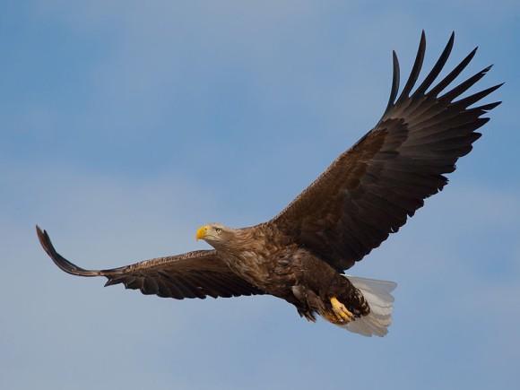 英国最大の猛禽類「オジロワシ」が240年ぶりに戻ってきた!空を舞う姿が目撃される