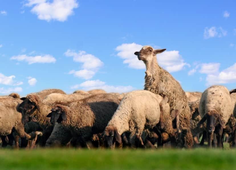 羊のメスはおとなしいオスが好き