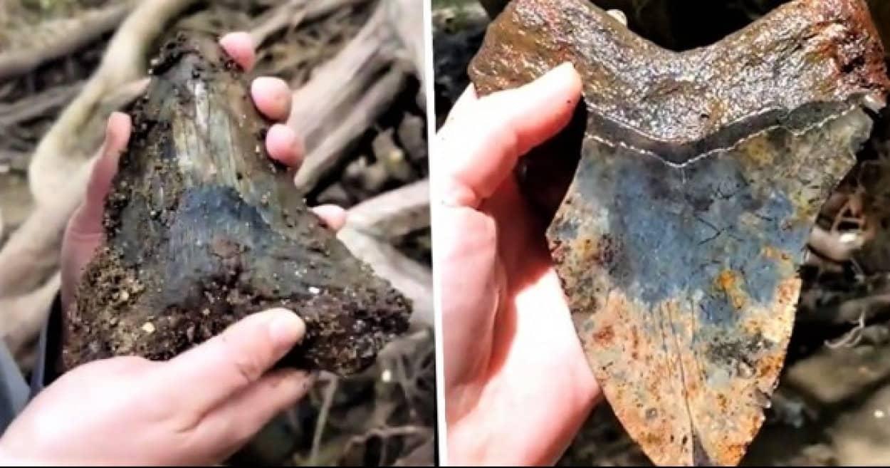 メガロドンの歯の化石