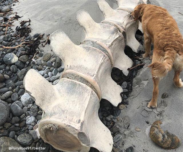 ネッシーの死骸か!?スコットランドの離島に巨大な骸骨が打ち上げられる