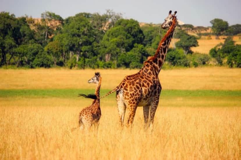giraffe_pixabay