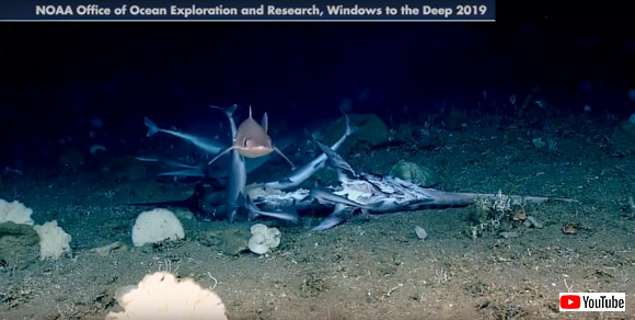 海底での弱肉強食リアル。魚の死骸をむさぼるサメの群れ。そのサメを生きたまま捕食する魚(※食事風景注意)