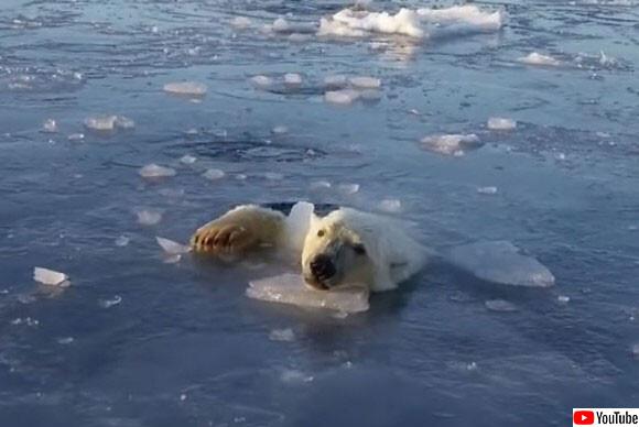 なんだ?なんだなんだ?ザクザクと海氷を割りながらドローンを追いかけるシロクマ