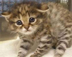世界最小種の猫、くにゅんとかわいい「クロアシネコ」の赤ちゃん