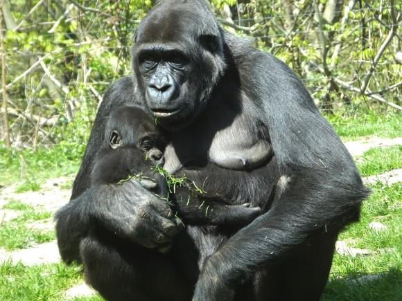gorilla_pixabay