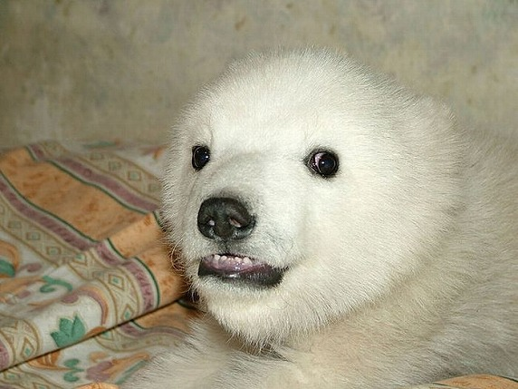 polarbearbabysaved-19