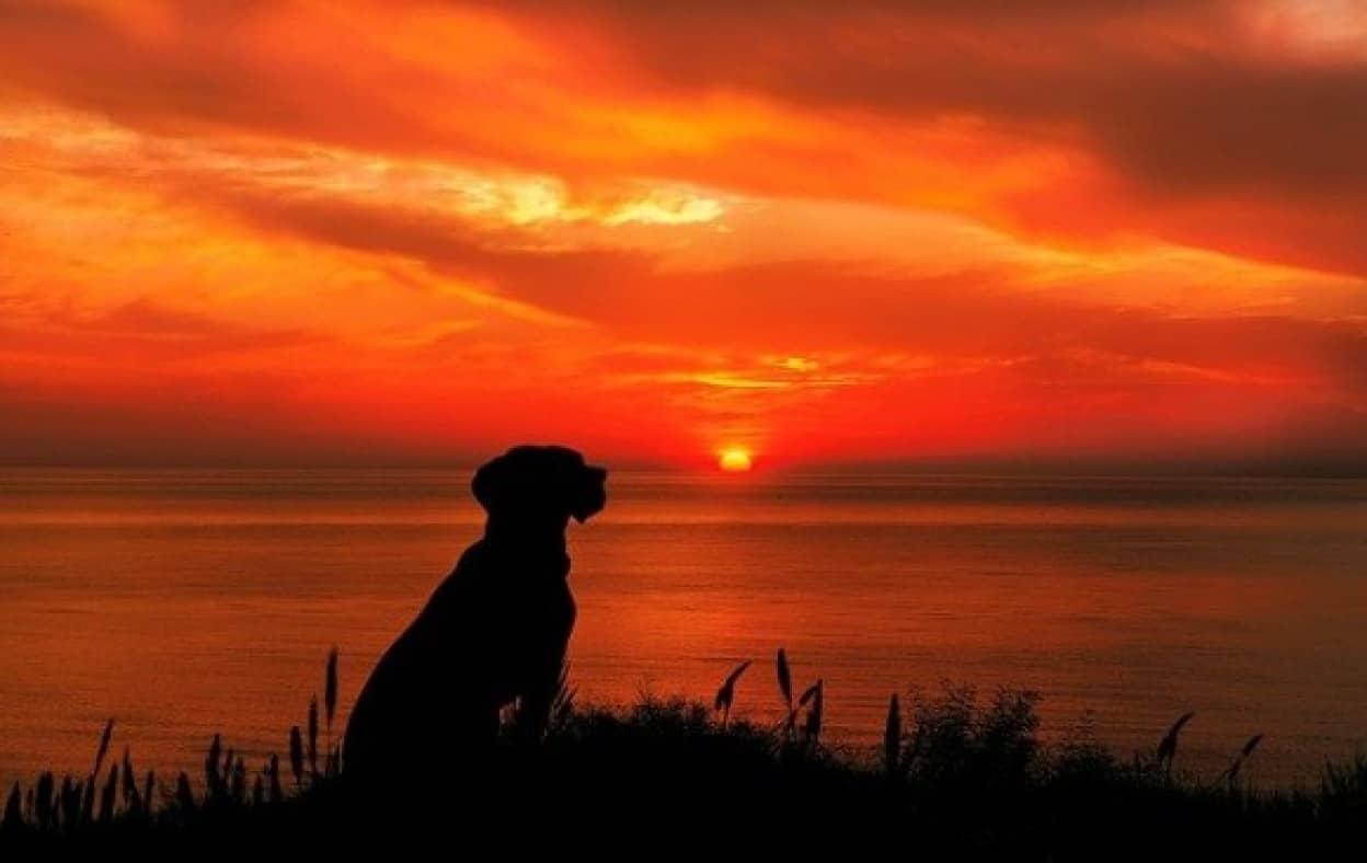 毎日の夕日を見つめるゴールデン・レトリバーの後ろ姿に感動