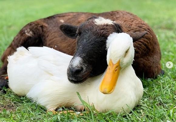 ヤギとアヒルの友情物語