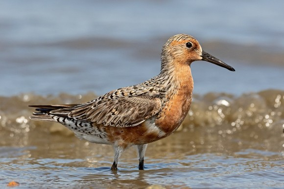 1280px-Red-Knot-for-Wiki_e