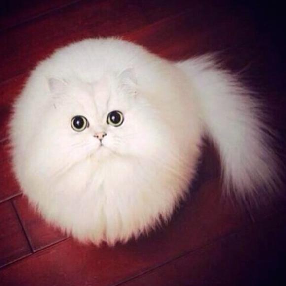 白い猫があまりにも球形まん丸な毛玉感だったのでコラ職人頑張る