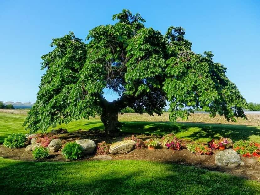ニレの樹木